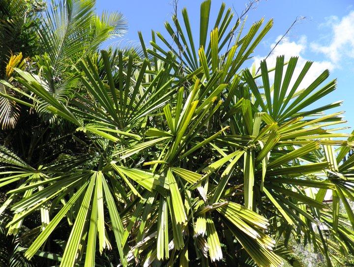 Licuala spinosa, ou palmier à hélices